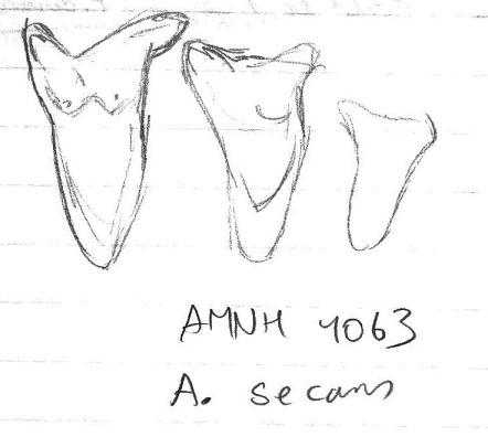 Sketch of AMNH 4063, three upper teeth of A. secans