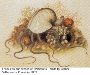 Sketch of an Argonaut (also called a Paper Nautilus) by Jeanne Villepreux-Power