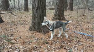 A woodland Husky.