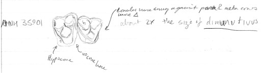 Here's a sketch I drew of two upper teeth of Hapaletes in the collections at the American Museum of Natural History