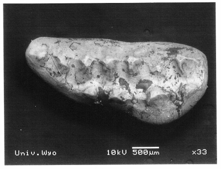 The right upper fourth premolar of Ptilodus gnomus. Notice the rows of pointed cusps, characteristic of multituberculates.