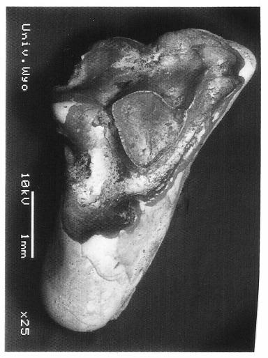 Acmeodon secans UW 28062 RM1 from V-90029