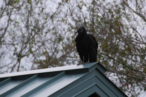 And the loveliest of all... The black vulture.