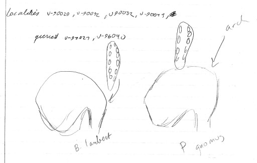 Sketches of the comparison between B. lamberti and P. gnomus