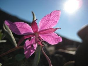 Arctic flowers - 13