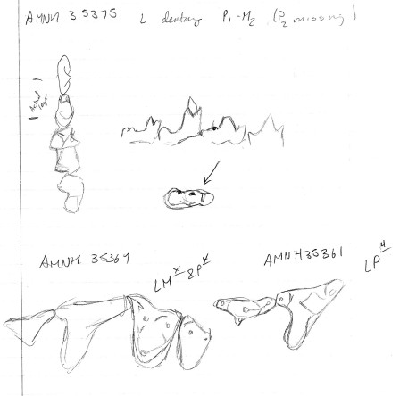 Sketches of several specimens of Protictis from the American Museum of Natural History