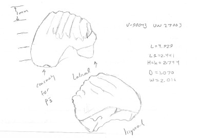 Fractinus palmorem 2