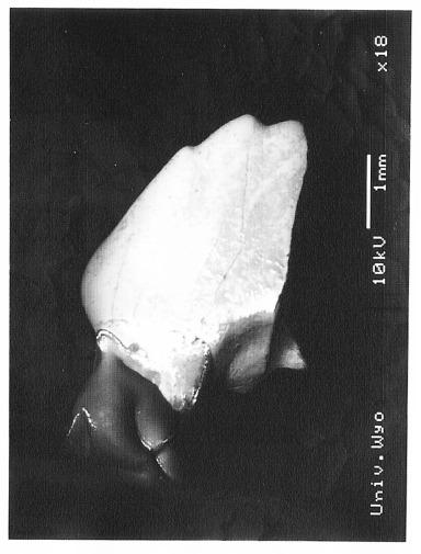Fractinus palmorem 6