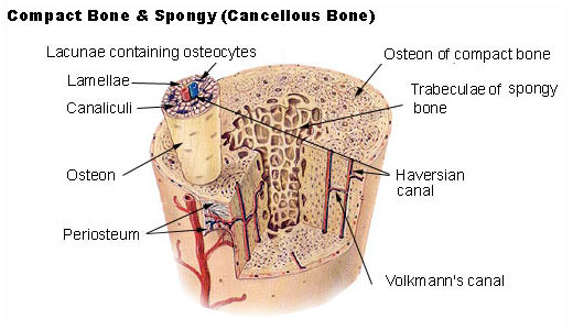 Structure of a bone. SEER - U.S. National Cancer Institute's Surveillance, Epidemiology and End Results (SEER) Program Public Domain