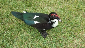 A muscovy duck that reminds me of Darth Maul