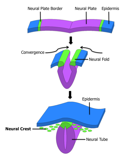 Development of the dorsal hollow nerve tube from neural crest cells of the ectoderm (called epidermis here) Public Domain