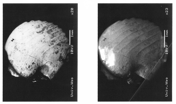 Two SEM images of the same specimen of Ptilodus gnomus (UW 23093 from locality V-90045. This is a left lower fourth premolar. The images differ by the image collection method. The left is a Backscattered electon image; the right is a secondary electron image.