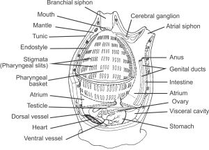 Anatomy of a sea squirt Jon Houseman CC BY-SA 3.0