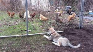 Chicken watching.