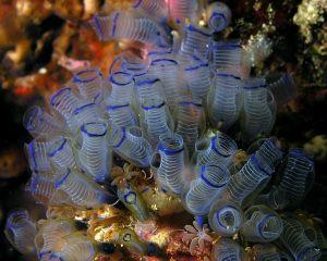 Clavelina moluccensis, the bluebell tunicate Nick Hobgood CC BY-SA 3.0
