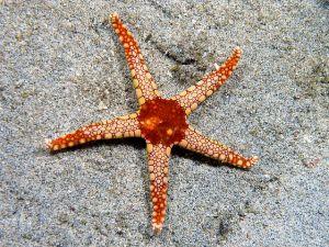 Fromia monilis (Seastar) Nick Hobgood CC BY-SA 3.0