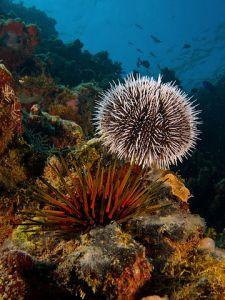 Tripneustes ventricosus (West Indian Sea Egg-top) and Echinometra viridis (Reef Urchin - bottom). Nick Hobgood CC BY-SA 3.0