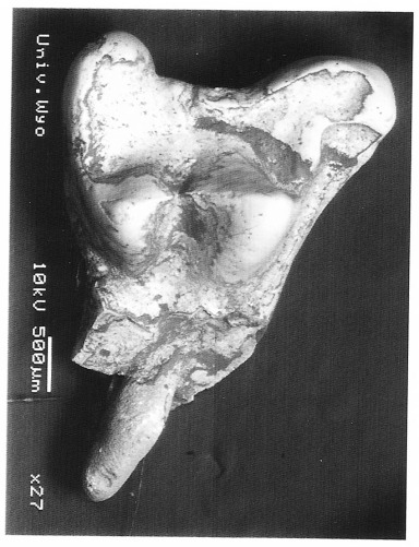 Acmeodon secans UW 28730 Incomplete RM1 from V-90057